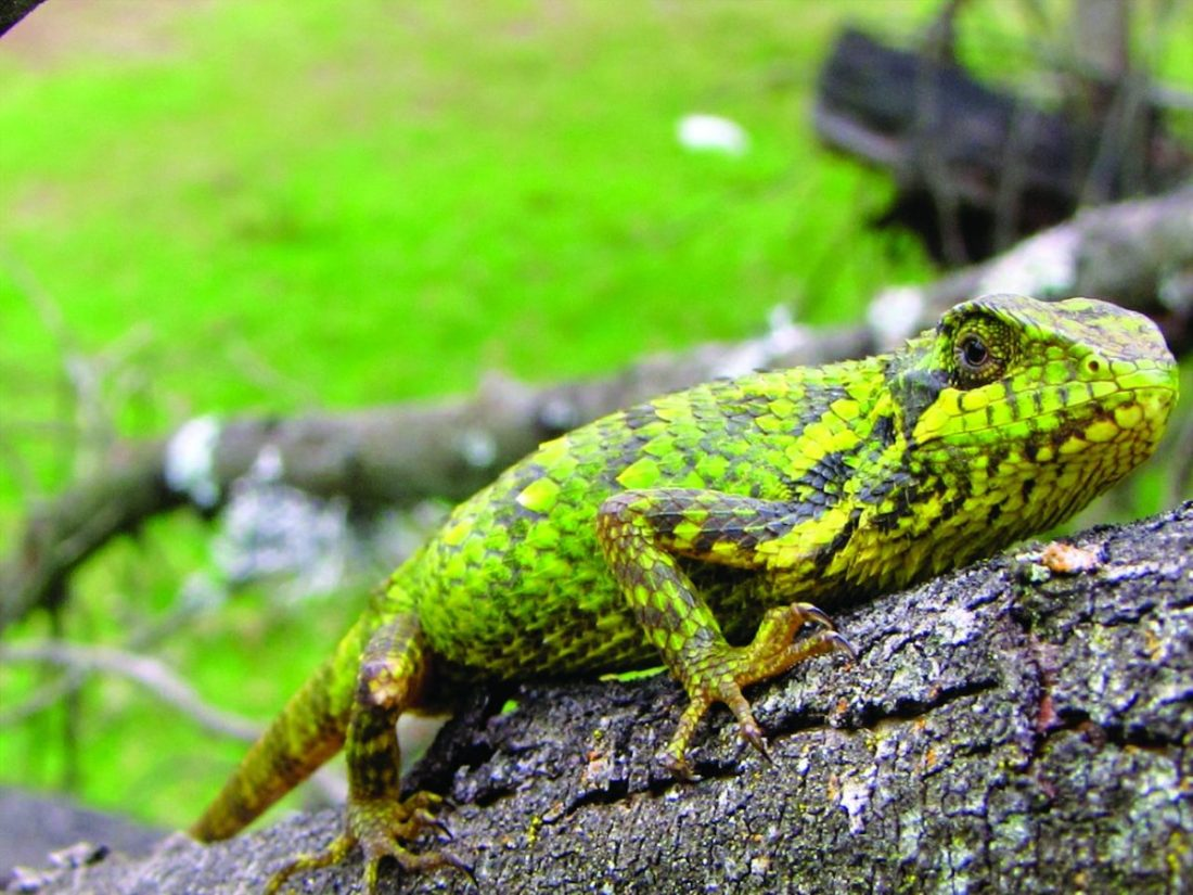 Not just the birds, but several species of reptiles, like the Spiny lizard (Salea sp., below) and Crossbacked bush frog (Raorchestes signatus, right) are also endemic to the sky-island forests of the southern Western Ghats.