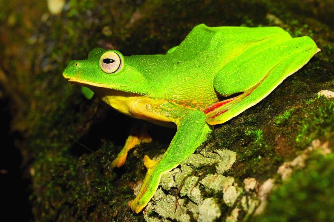 Malabar Gliding Frog - Amboli -SAEVUS