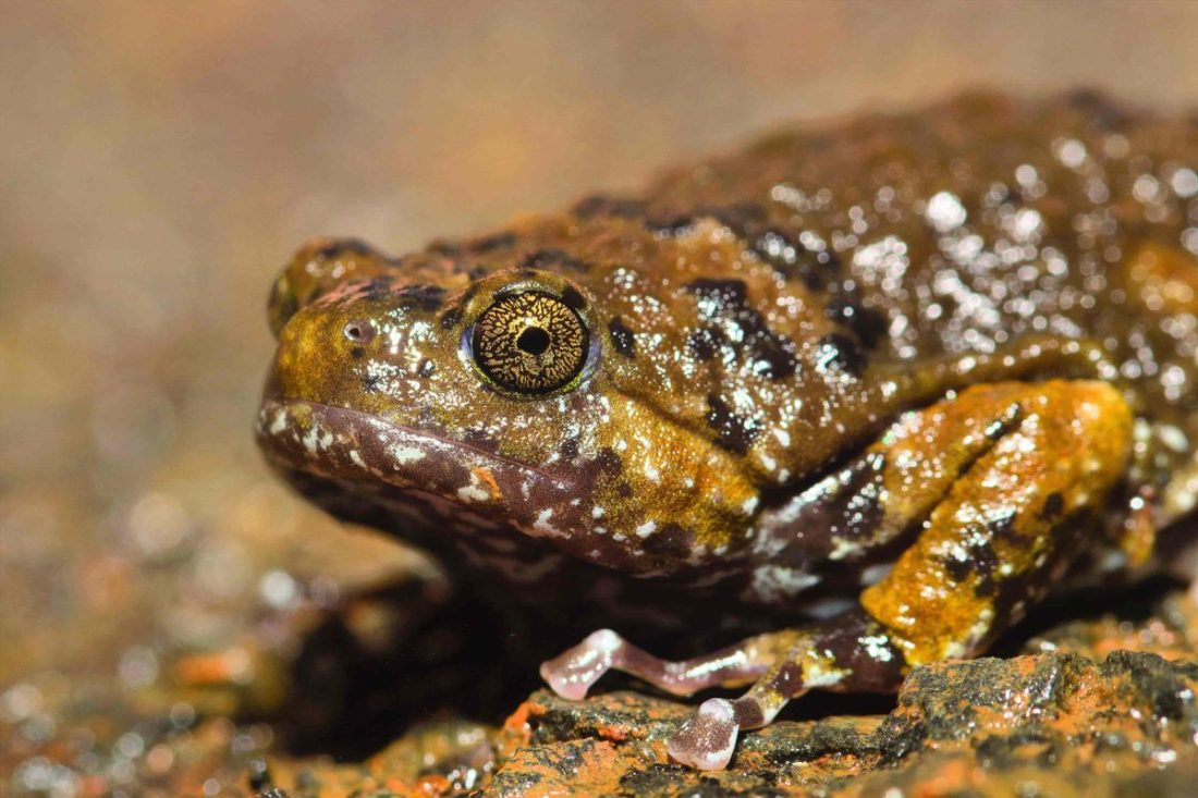 Marbled Short-nosed Frog