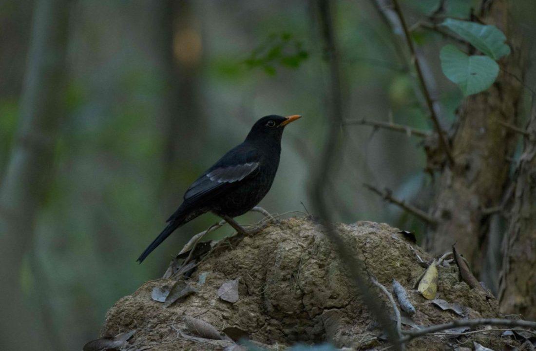 Grey-winged Blackbird-trek-monal-saevus