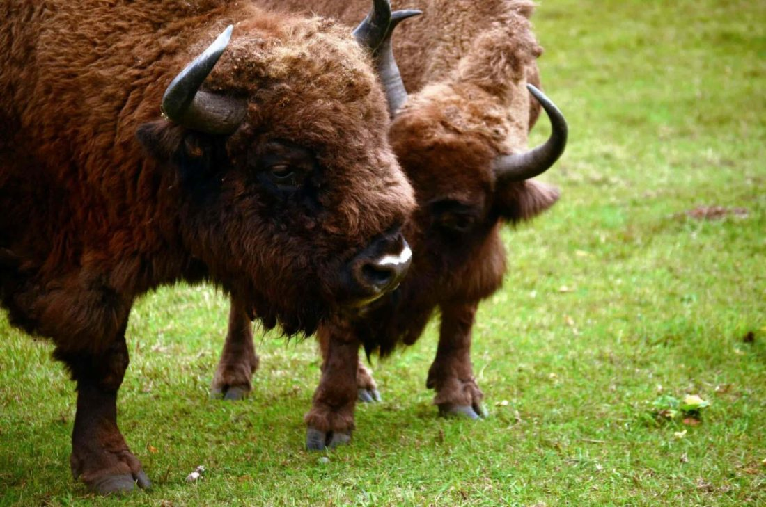 Nearly hunted out of existence more than once, the European bison (Bison bonasus), Bialowieza's flagship  species, is today on the rise. The protected species is even provisioned food by the park's dutiful staff in the long winters.