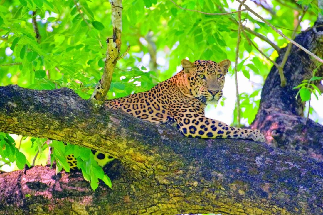 Indian leopard (Panthera pardus fusca), subspecies from Asia, male resting on tree. Nagarhole National Park, India.