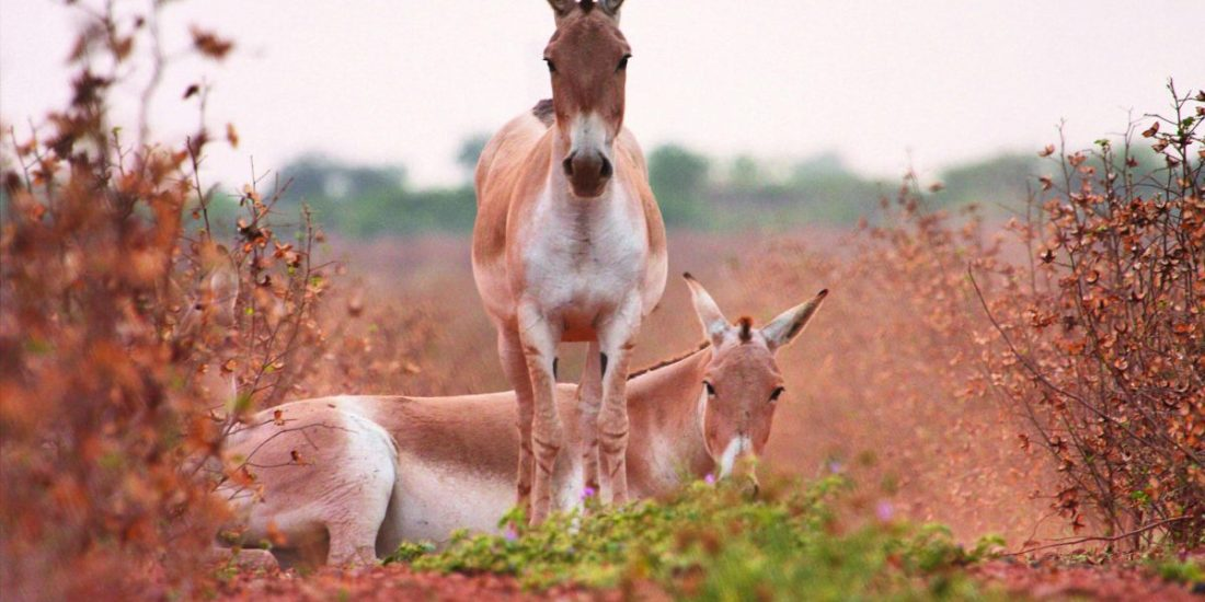 The wild asses were found in a quiet, playful mood in the evenings, spending a lot of time rolling in the dust.