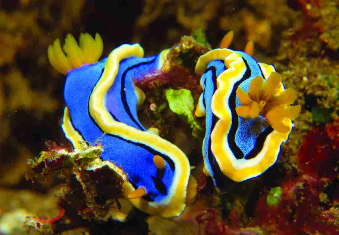pair of Dorid nudibranchs