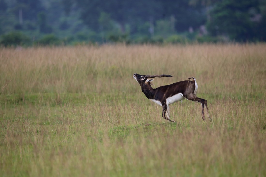 Elegant running ( Male Blackbuck)