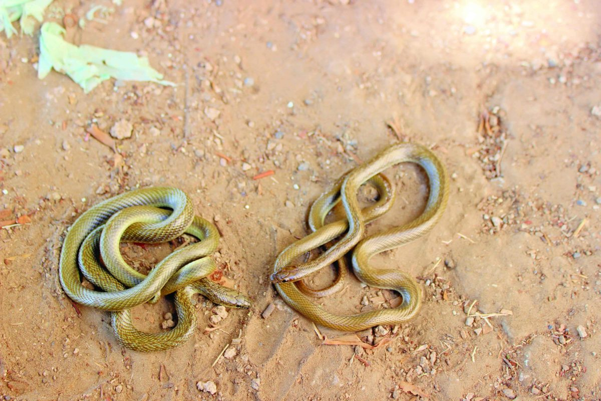 Slithering for its existence - The Indian smooth snake