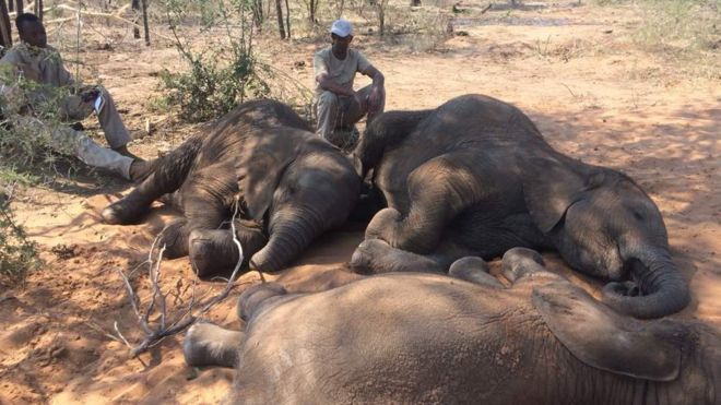 Baby elephants, orphaned by poachers, are now being cared for at a new sanctuary in Botswana