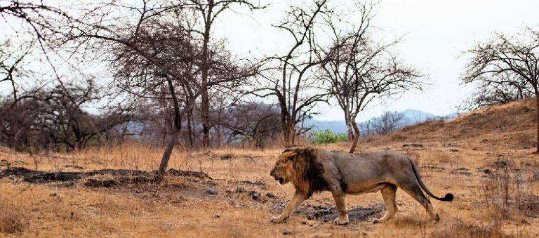 The king of the jungle striding across the characteristic semi-arid landscape of Gir