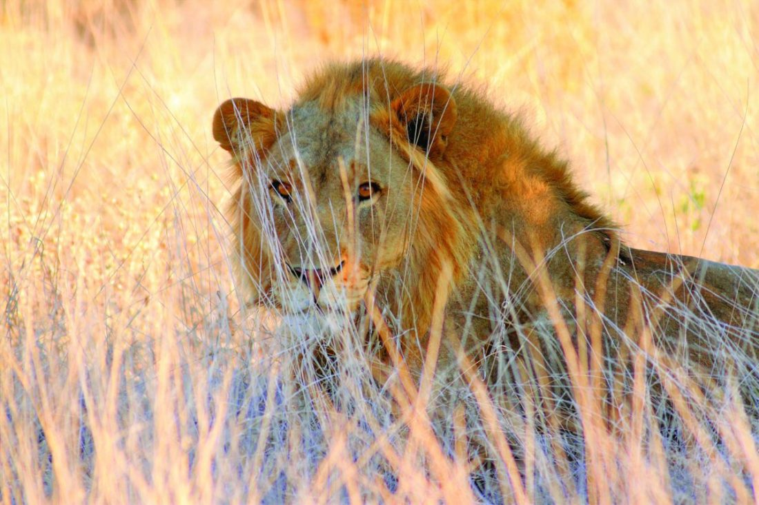 In Etosha National Park, there are approximately 300-350 Lions (Panthera leo), which is not many, considering the large area of the reserve.