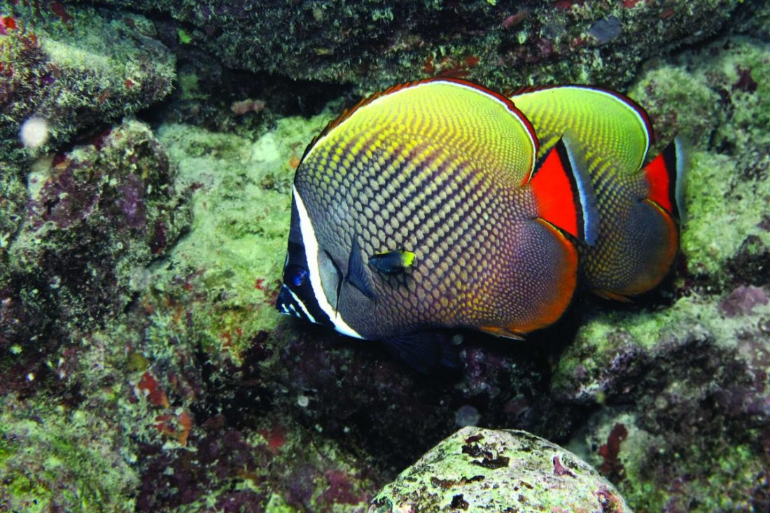 Red-tailed Butterflyfish (C. collaris)