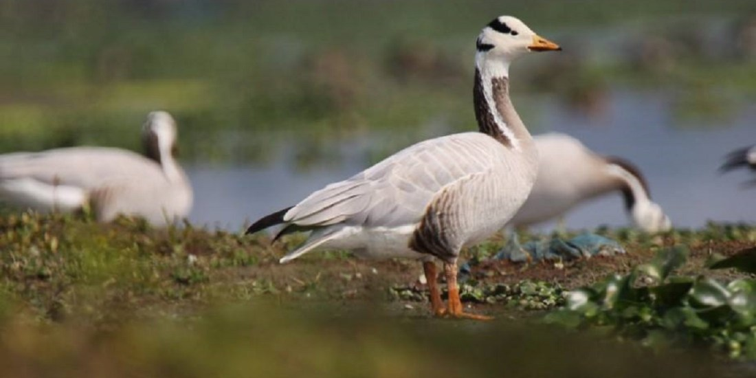 Bar-headed goose by Nikhil Bhopale