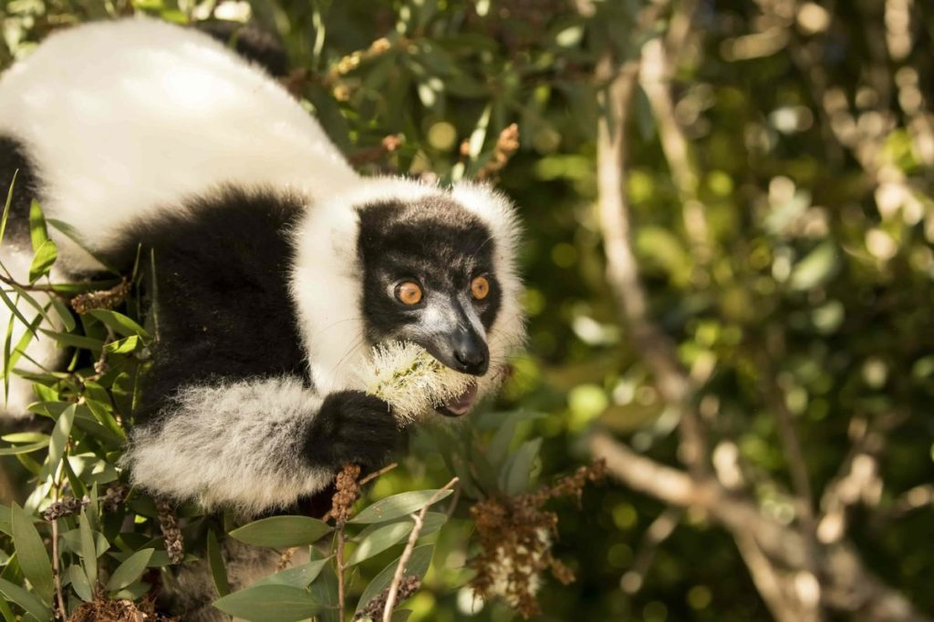 In search of the lemurs of Madagascar