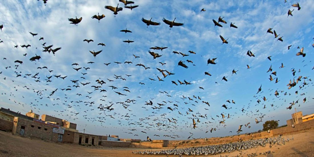Demoiselle Cranes migrating from Central Asia, roost in large numbers at Khichan, Rajasthan, because of the generous food supply made available by the villagers.