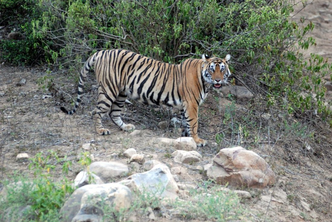 B-2 in Sariska. This photo was clicked after she had given birth to cubs post her relocation to Sariska.
