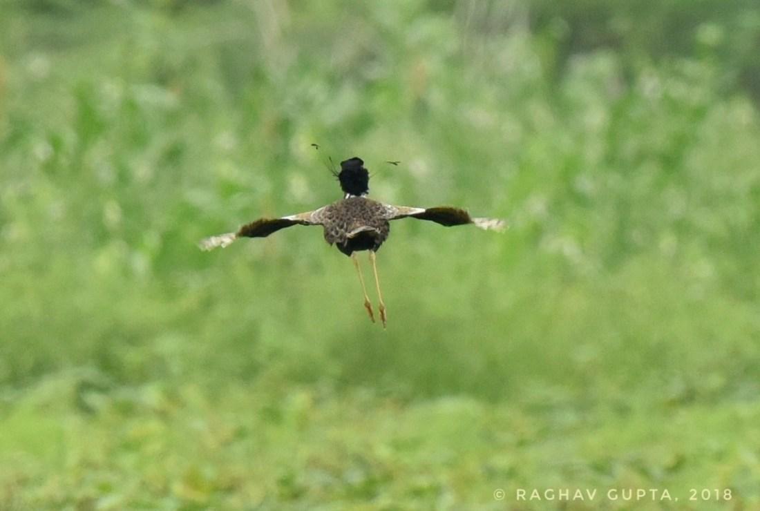 Lesser Florican-a bird lesser than none!