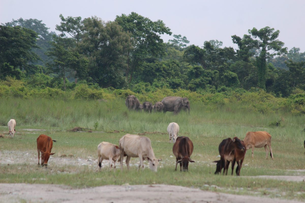 Cattle grazing – a bane for the forests