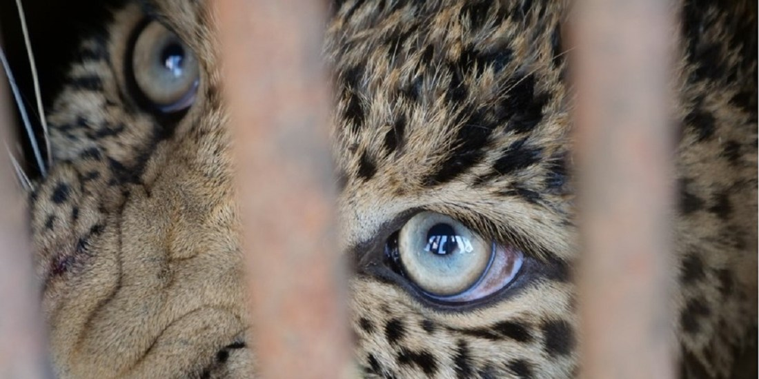 7-year-old female leopard was rescued