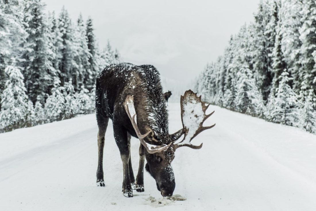 Brown moose surrounded by snowfield | Photo by Ivars Krutainis