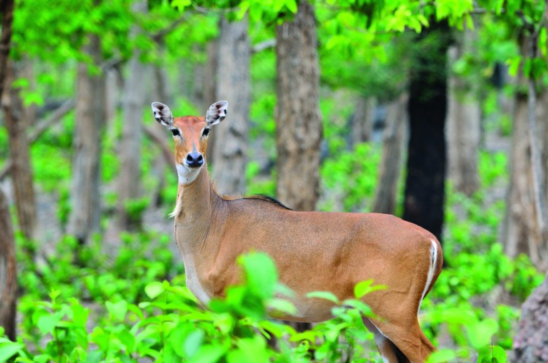 The largest Asian antelope, the Nilgai (Boselaphus tragocamelus) can be seen in Kawal's teak forests | Photo: