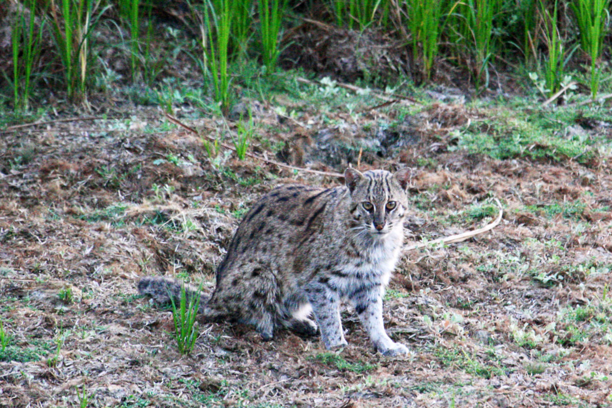 Fishing Cat (Prionailurus viverrinus) in Dudhwa Photo credit: Partha Dey, The Fishing Cat Project