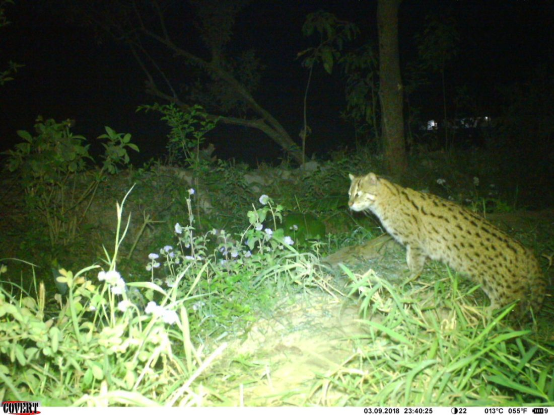 Fishing Cat Recorded Near the Human Settlement in Bodhban of Bara District of Nepal Photo credit: Sagar Dahal, Small Mammals Conservation and Research Foundation (SMCRF)