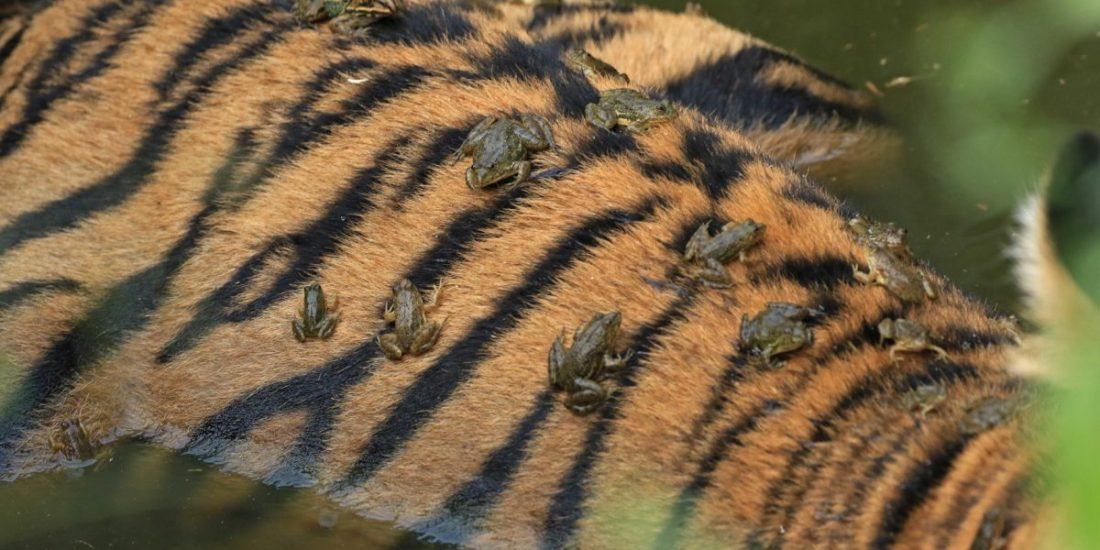 Raining toads and tigers