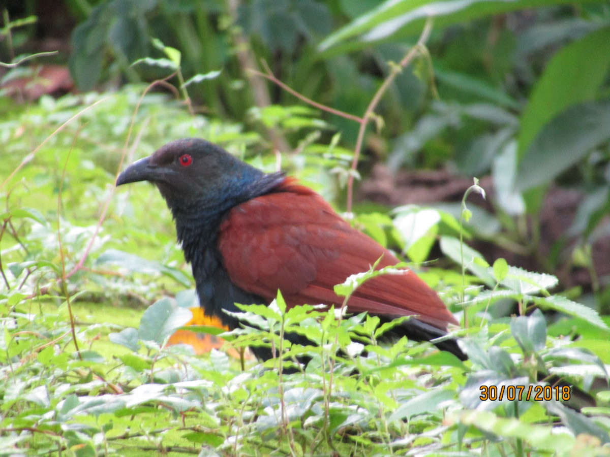 Pheasant crow – the Coucal