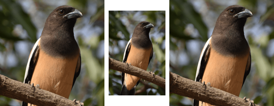 An encounter with a friendly treepie