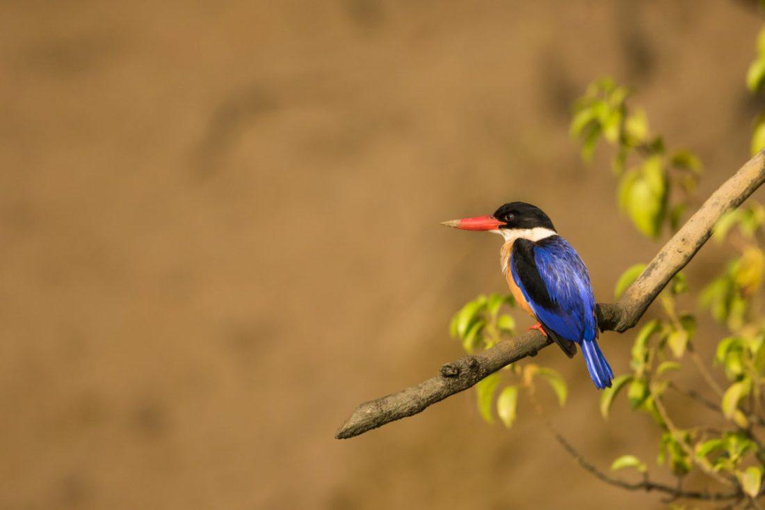 Call of Kingfishers