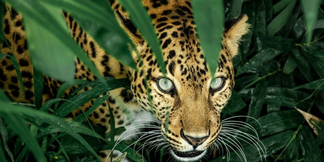 Addressing the Needs of Ageing Leopards