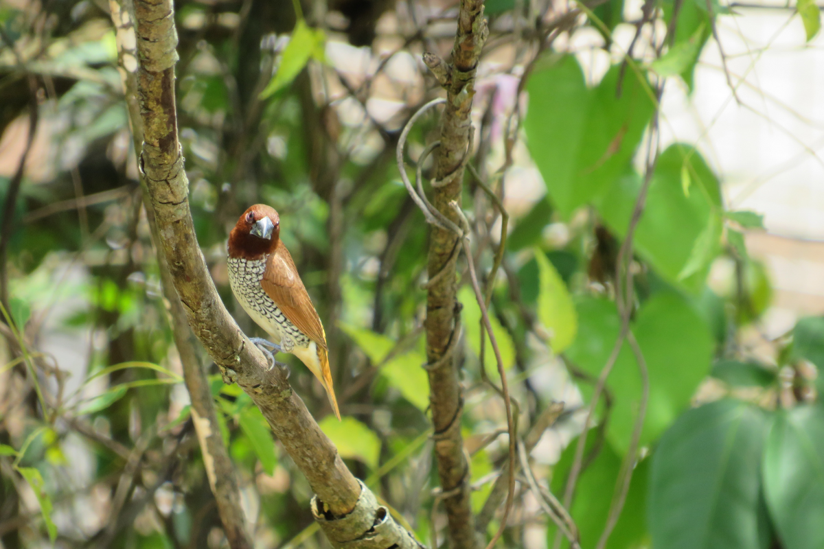 Fawn Station : The Munia