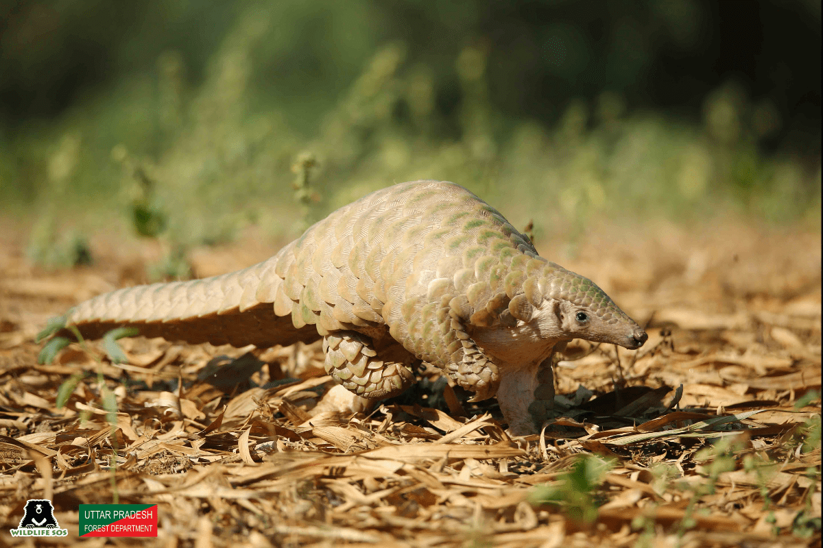 Pangolin protected