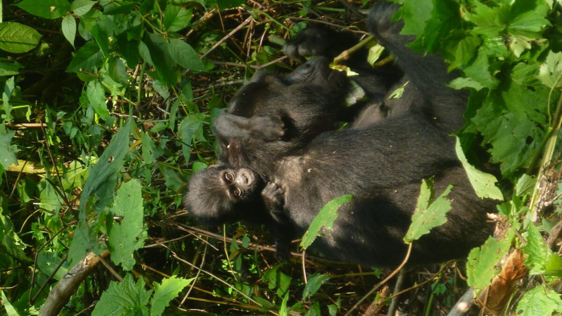 Walking with Giants: Gorilla Tales and Trails