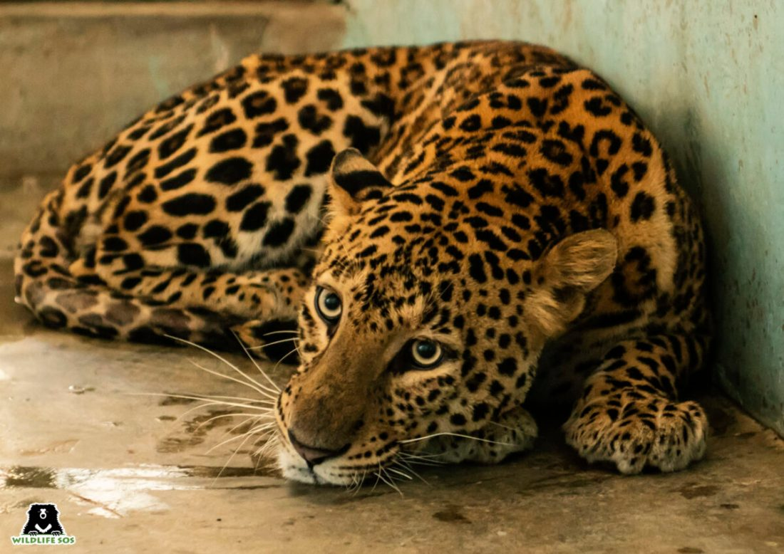 Ailing Leopard Treated and Returned to the Wild