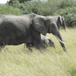 Elephants belong to the Proboscidea order