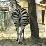 Like other ungulate, a zebra can turn its ears in almost any direction