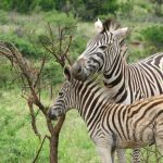 Embryological evidence suggests that zebra's background color is black and the bellies and white stripes are additions