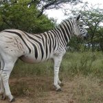 Hippotigris is one of the subgenus of zebra