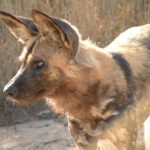 The African wild dog is also called Cape hunting dog.