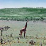 Wildlife in African landscape.