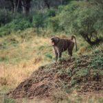 Lone Baboon Howling at Masai Mara Reserve, Kenya