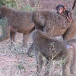 A qualified guide in Kenya will be able to give information on wildlife behavior