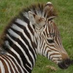 A zebra's stripes come in different patterns