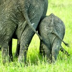 Asian elephant is one of the species of elephants that is traditionally recognized