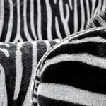 A zebra has superb eyesight and hearing