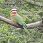 Bee-eaters belong to the family Meropidae
