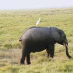 A bird on an elephant on a safari at Kenya