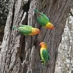 http://www.tropicalbirding.com/africa-tours/kenya/
