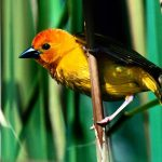 http://ayay.co.uk/background/animals/birds/golden-weaver-kenya-east-africa/