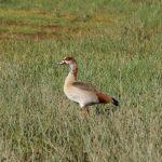 At lake Nakuru in Kenya in Africa is a paradise for birds, geese, comorans, herons, pelicans etc